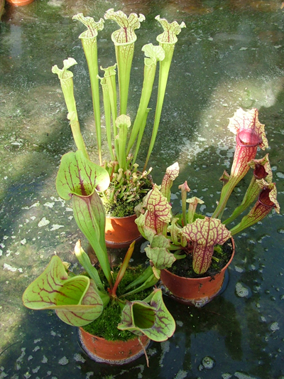 Sarracenia Hybrid collection | Hampshire Carnivorous Plants