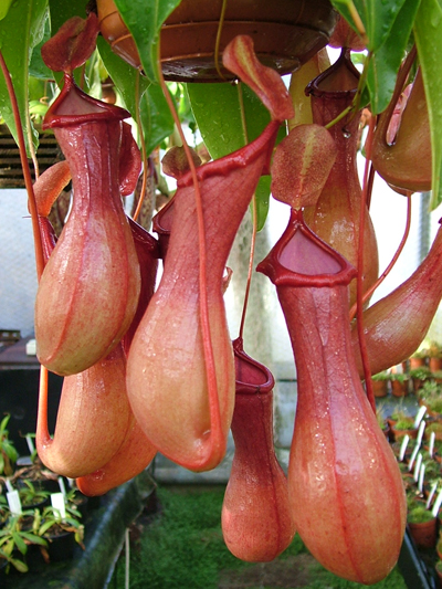 N.xventrata small | Nepenthes Monkey Cup