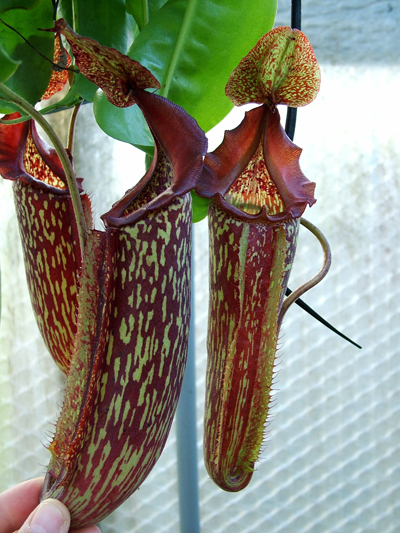 Nepenthes Maxima - Identification et questions Nmc084-nepenthes-maxima-245-p
