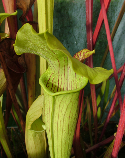 S.alata Wavy lid,Citronelle, Alabama | North American Pitcher Plant