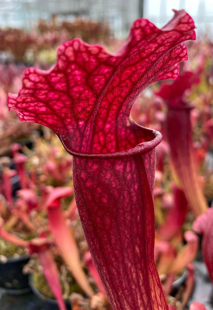 S. cv Fiona | North American Pitcher Plant