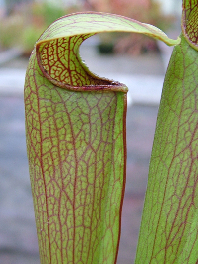 S.x Rehderii | North American Pitcher Plant
