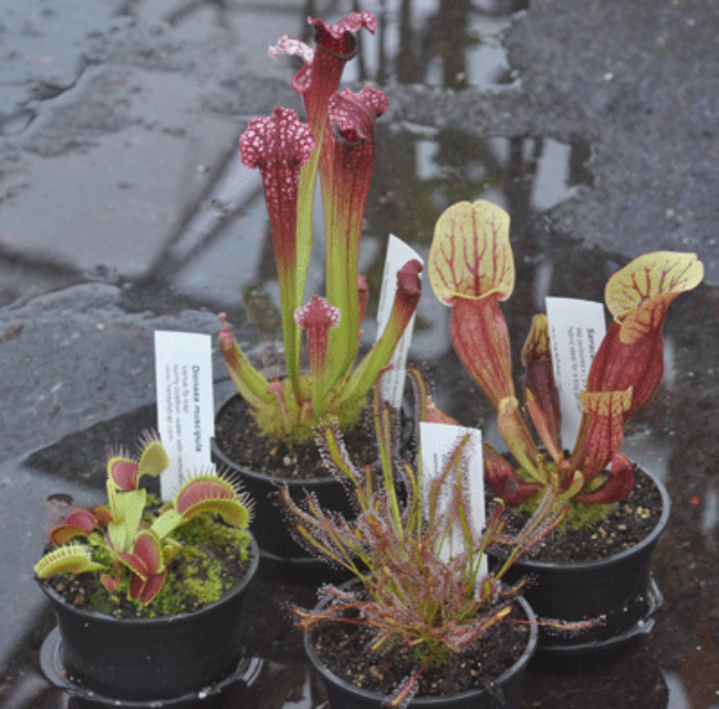 Beginner's Collection | Hampshire Carnivorous Plants