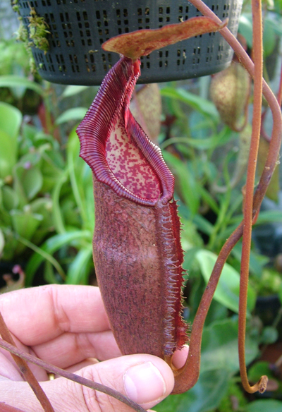 BE3052 Nepenthes densiflora