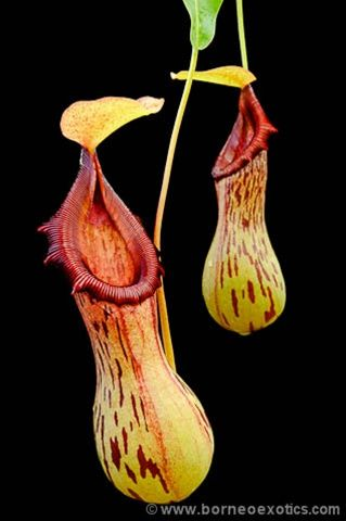 N.Burkei | Nepenthes Monkey Cup