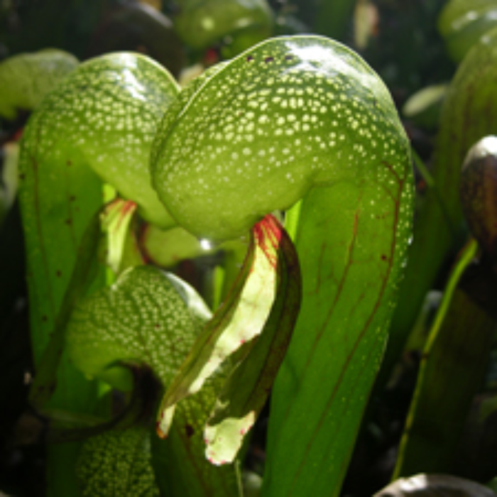 Darlingtonia californica Medium