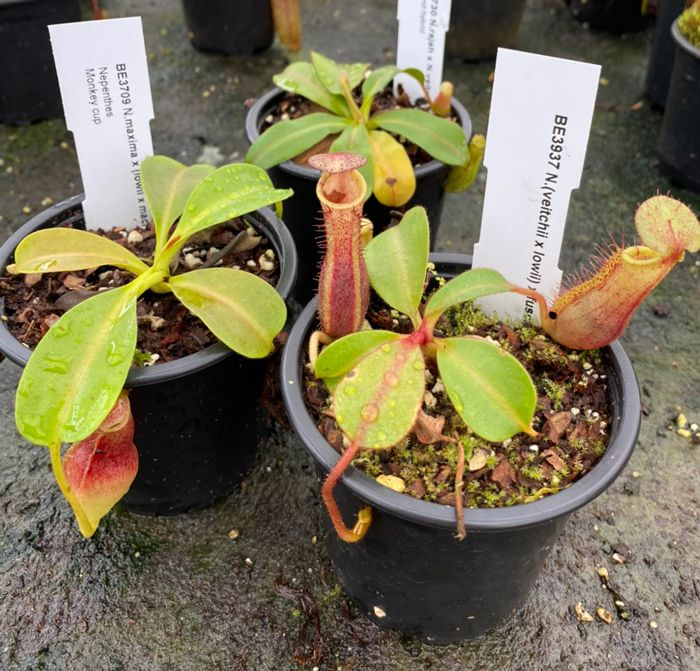 NCOL6 Nepenthes Collection 3