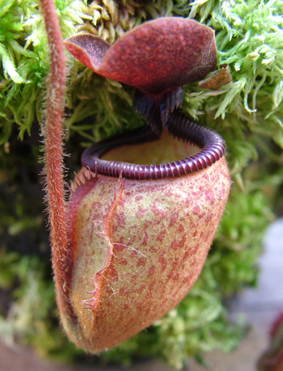 NMC077 Nepenthes argentii