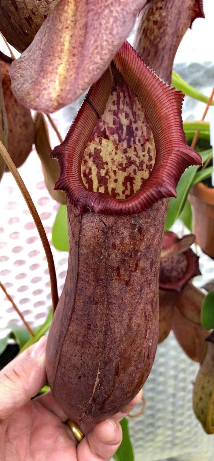 NMC821 Nepenthes ventricosa x robcantleyi LARGE long tom
