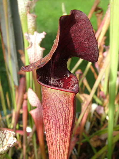 S.alata red tube Deer park Alabama  | North American Pitcher Plant