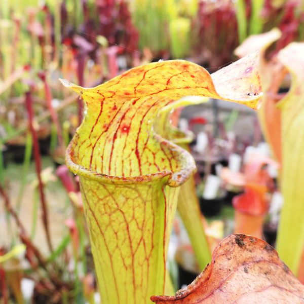 Sarracenia alata Hill top lake Texas | North American Pitcher Plant