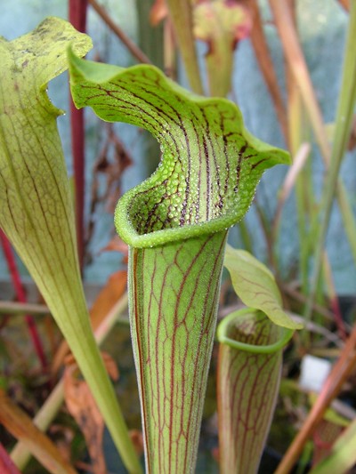 S.alata Pubescent form, Perdido, Alabama | North American Pitcher Plant