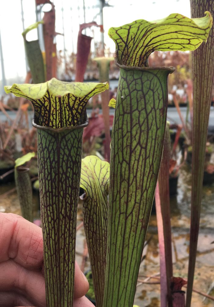 Sarracenia alata heavy veined Perdido Alabama SA019