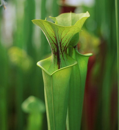 S.flava Lightly veined N. Carolina | North American Pitcher Plant