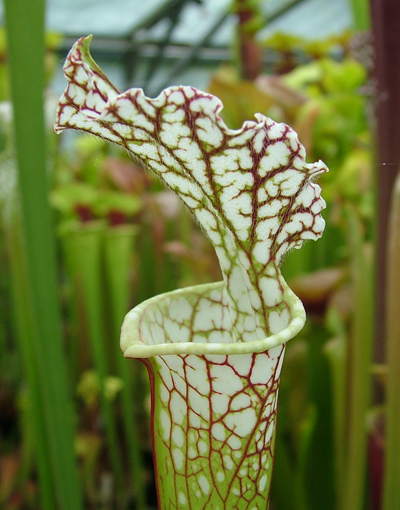 S.leucophylla giant Baldwin co Alabama | North American Pitcher Plant