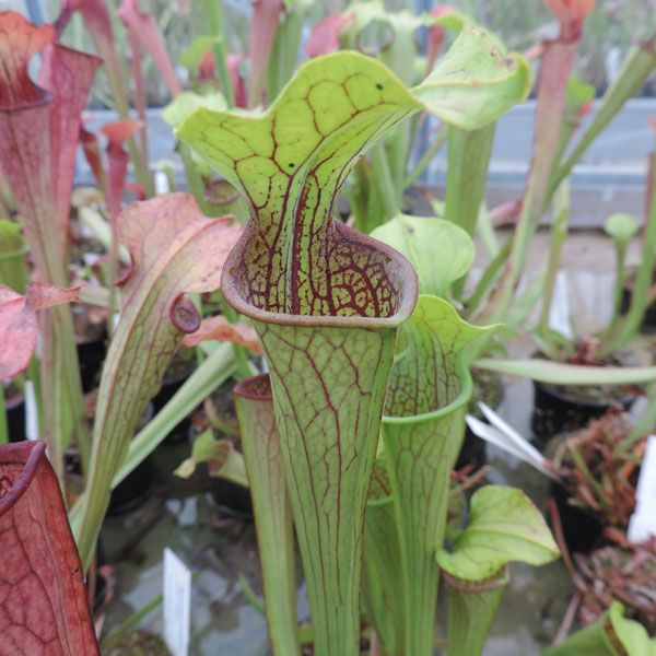 S. oreophila Centre, Alabama | North American Pitcher Plant