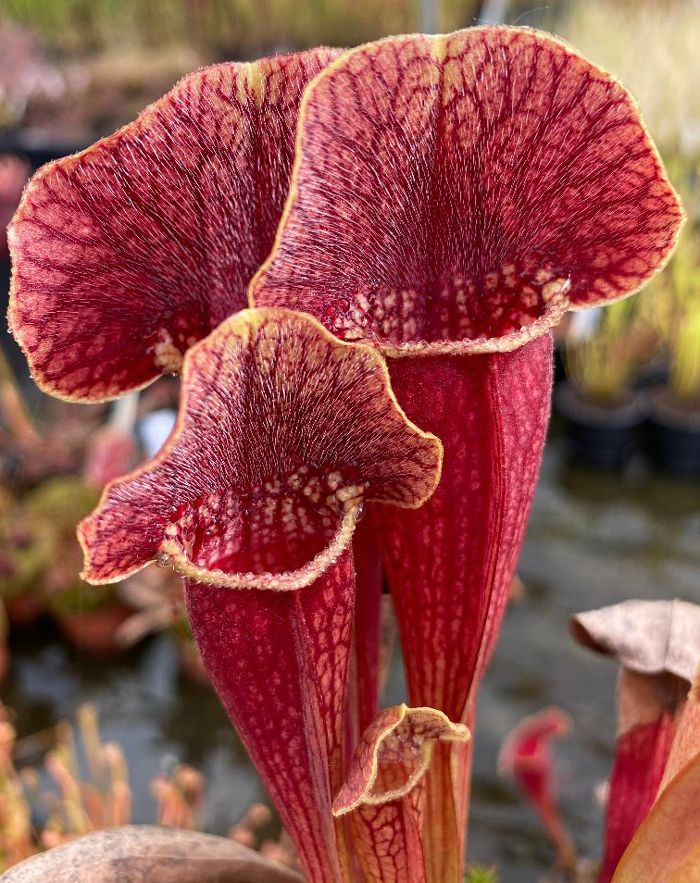 S.x swaniana x S.x mitchelliana | North American Pitcher Plant