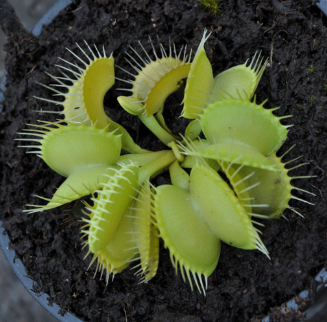 Dionaea muscipula all green form