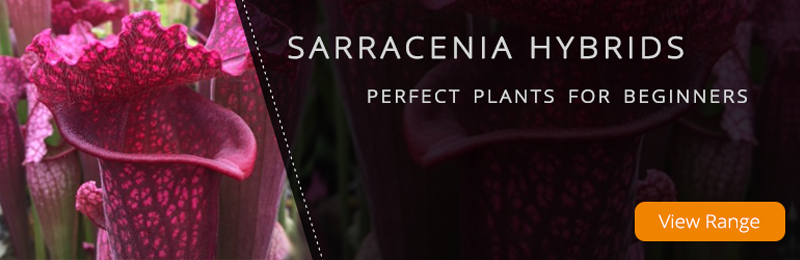 Sarracenia Hybrids - Perfect Plants for Beginners